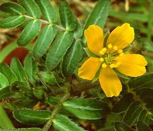 The Tribulus Terrestris Herb