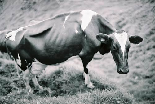 A Sick Cow