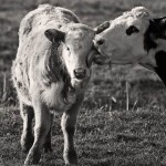 Should We Legalize the Sale of Raw Dairy?