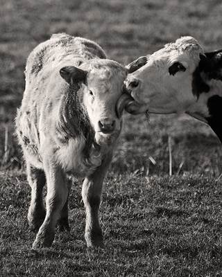 A Cow Licking Her Calf Lovingly