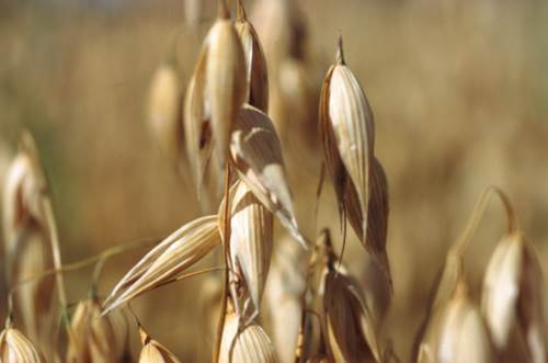 Wheat Spikelets