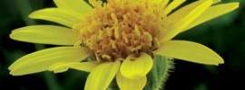 Arnica: A Natural Cure for Muscle Pain