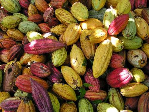 Colorful Cacao Beans