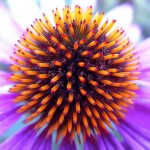 Echinacea: The Herbal Heavyweight