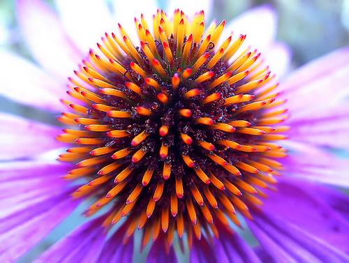 Echinacea - The Purple Flower