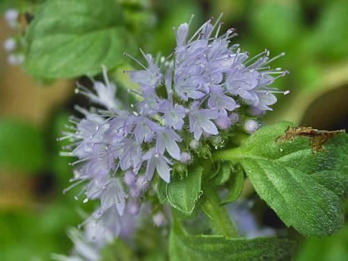 Pennyroyal Plant