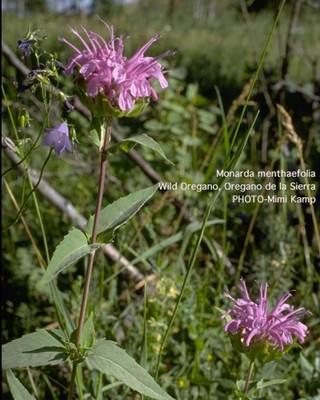Wild Oregano Plant Flowers