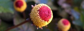 Spilanthes: Herbal Toothache Remedy
