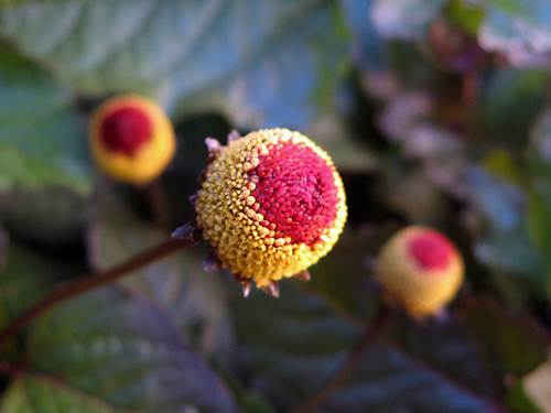 Spilanthes Plant Flower