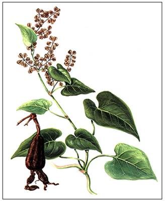 Ho Shou Wu Plant - Ancient Herb