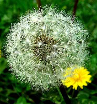 A Dandelion Seed Head