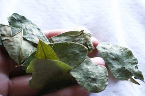 A Bunch of Coca Leaves