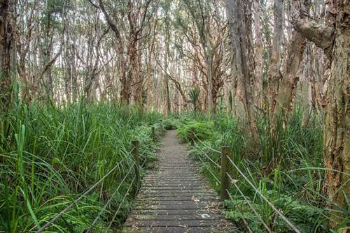 Australian Melaleuca Trees