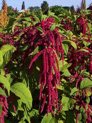 Amaranth Plant in Bloom