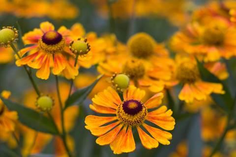 Calendula Flowers in Bloom