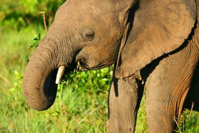 An Elephant Munching on Gotu Kola Leaves