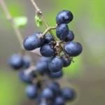 Juniper Oil: Nature's Summer Hemline Helper