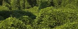 Kudzu, The Vine That May Just Curb Your Binge-Drinking!