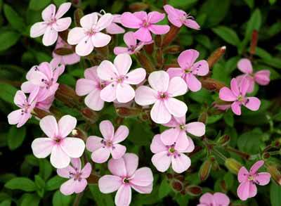 Soapwort Plant and Flowers
