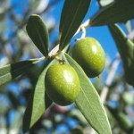 The Health Benefits of Olive Leaf