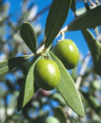 Olive Leaf - Leaf of the Olive Tree