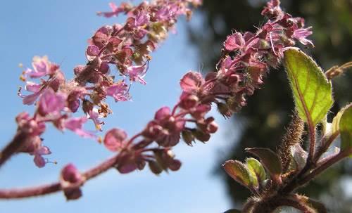 Tulsi Plant - Holy Basil