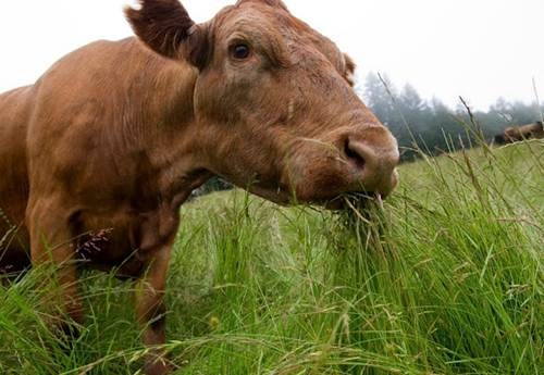 A Cow Feeding on Grass in an Open Field