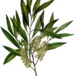 Tea Tree Oil – Antibiotic, Antiviral,  Antifungal