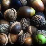 The Revival of the Acorn