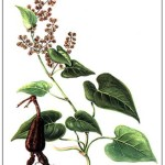 Ho Shou Wu: Should You?  Ancient Herb for Longevity and Hair Restoration