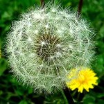Reclassifying the Dandelion: From Weed to Powerful Healer