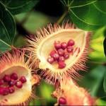 Achiote: Ancient Aztec Antioxidant