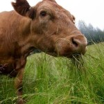Grass Fed Beef: What's The Big Deal?